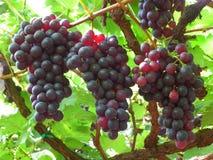 Dark purple grapes ripen on the tree. Close-up Stock Photo