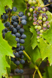 Dark purple grapes ripening on the vine Stock Image