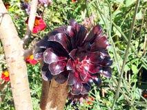Dark purple houseleek tree Royalty Free Stock Photo