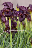 Dark Purple Iris. The dark-purple iris (Iris atropurpurea) is endemic to the coastal plain of Israel royalty free stock images