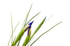 Dark purple iris buds Royalty Free Stock Photography