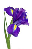Dark purple iris flower. Isolated on white background stock photography