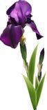 Dark purple iris flower. With buds Stock Photos