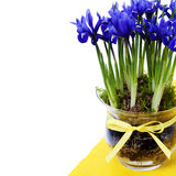Dark purple iris flower Stock Image