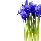 Dark purple iris flower Royalty Free Stock Photos