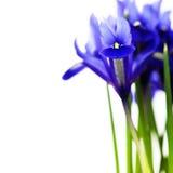 Dark purple iris flower Royalty Free Stock Image