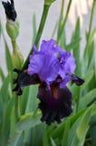 Dark purple iris flower. Close up of dark purple iris flower Stock Photos