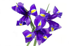 Dark purple iris flowers Royalty Free Stock Image
