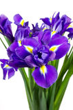 Dark purple iris flowers Royalty Free Stock Photo