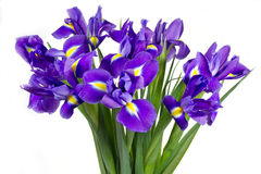 Dark purple iris flowers Royalty Free Stock Photos