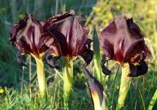 Dark purple irises in a nature reserve Stock Photography