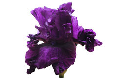 Dark purple lush flower iris, on green stalk, white isolated background Stock Image