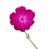 Dark purple Lychnis or rose campion flower isolated against whit. Single dark purple flower of a rose campion (Lychnis coronaria) cultivar isolated against a Royalty Free Stock Photo