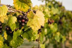 Dark Purple Muscadine Grapes on Vine. Muscadine vine with dark purple grapes with sun shining showing beautiful foliage and row Royalty Free Stock Photography