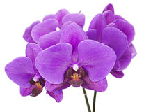 Dark purple orchid isolated on white background Royalty Free Stock Photos