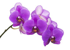 Dark purple orchid  Royalty Free Stock Images