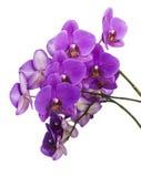 Dark purple orchid   Stock Images