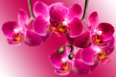 Dark purple orchids on blurred gradient background Stock Photography