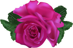 Dark purple rose isolated on white background Stock Photography