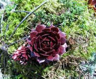 Dark purple succulent plants growing on a moss ball. Dark purple succulent plants growing on a large moss ball Stock Photos