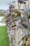 Dark purple sweet pea near wooden fence royalty free stock photography