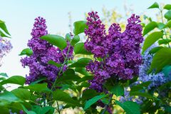 Dark purple terry lilac against a blue sky royalty free stock photo