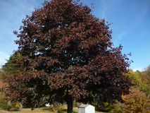 Dark purple tree. With a blue sky Stock Images