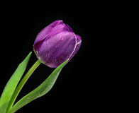 Dark Purple Tulip flower with water drops on a black background Royalty Free Stock Images