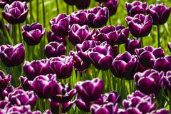 Dark purple tulips. background. Dark purple tulip flowers on a background of green grass Royalty Free Stock Images