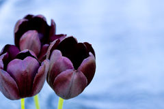 Dark purple tulips on a blue background. Dark purple tulips on a homogeneous blue background. Sharpness on near tulips Royalty Free Stock Image