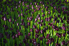 Dark purple tulips Stock Image