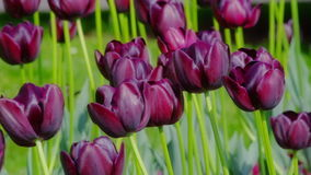 Dark purple tulips stock footage