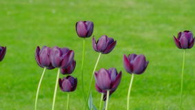 Dark purple tulips swaying in the wind. On the green lawn stock footage