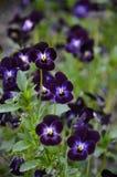 Dark purple viola flowers Stock Images