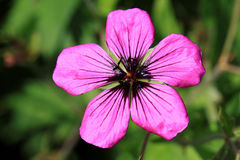 Dark purple-violet Geranium psilostemon flower Royalty Free Stock Image