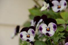 Dark Purple and White Pansies Royalty Free Stock Photos