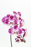 Dark purple and white Phalaenopsis orchids Stock Photo