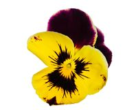 Dark purple and yellow pansy on white Royalty Free Stock Photography