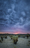 Dark rain clouds over Cholla Cactus. A sunset meets a dark rain cloud over the Cholla Cactus garden in California Royalty Free Stock Image