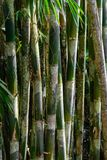 Dark rainforest with growing green bamboo tree background.  royalty free stock photos