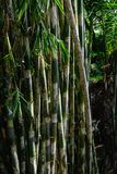 Dark rainforest with growing green bamboo tree background.  stock photos