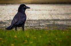 Dark raven halloween Stock Photos