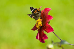 Dark red Aster and butterfly Royalty Free Stock Photo