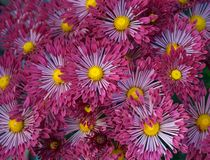 Dark-red aster flower-bed Stock Image