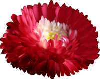 Dark red aster flower isolated on white Royalty Free Stock Photos