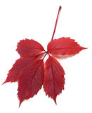 Dark-red autum virginia creeper leaf Royalty Free Stock Images