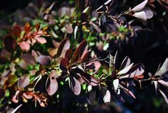 Dark red barberry leaves and thorns on twigs, organic background texture stock photography