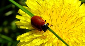 Dark red beetle on the flower Royalty Free Stock Photos