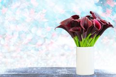 Dark red calla lily with blue bokeh and free space for valentine. Dark red calla lily with blue bokeh and free space for text, valentine twinkled bright Stock Photos