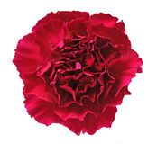 Dark red carnation Stock Photos